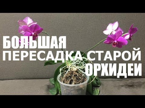 Как пересадить старую орхидею