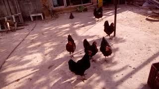 Folluklardan Yumurta Toplama!!!