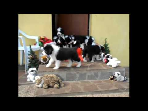 bearded collie gremontree Happy Birthday Yvonne's puppies