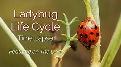 Time Lapse of Lady Beetle Life Cycle
