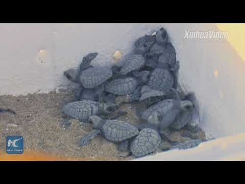 Saving sea turtles in Ghana! Chinese firm provides safe haven to endangered species