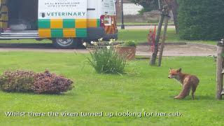Cooden Beach Fox Cub in a Drain Rescue 10th May 2016