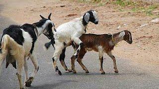 goat sextuplets....sex animal  in village