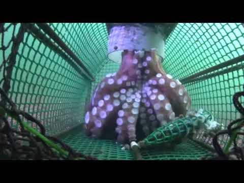 Pesca de pulpo con jaula