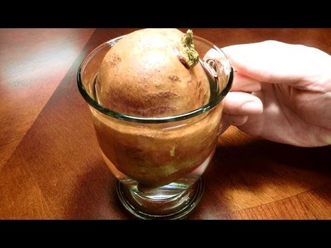 how to grow sweet potatoes from tubers