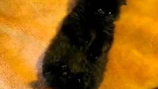 очень красивый и маленький чёрный котёнок ))))).mp4