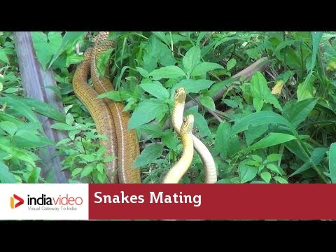 Snakes mating; frightening yet fascinating