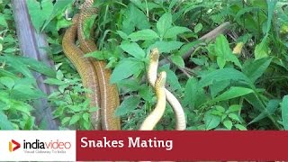 Snakes Mating | Frightening Yet Fascinating | India Video