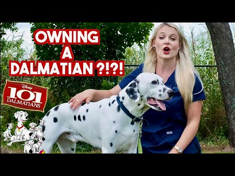 Owning a Dalmatian?? | What you need to know!