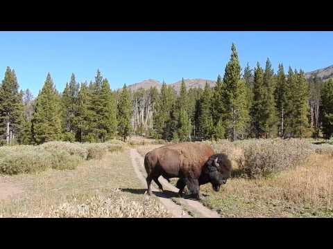 Yellowstone - Encontro com Bisão