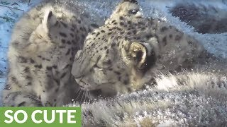 Snow leopard cubs play fight in the snow