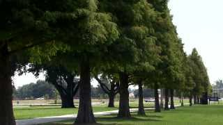 Bald cypress trees in Louisiana landscapes