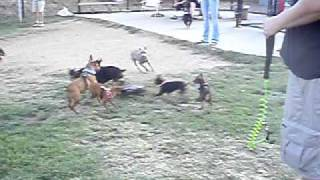 San Diego Miniature Pinscher Meetup Minpins Chasing Rc Car!