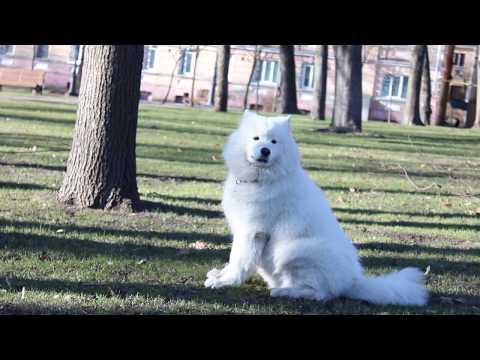 Three Big Dogs Fighting & Playing   Newfoundland 2019