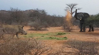 Elephant Fights Off Rhinos For Food