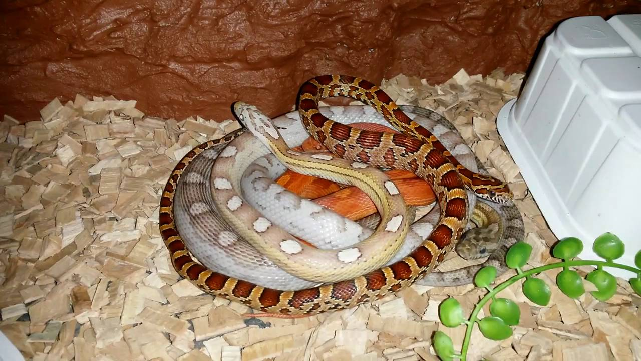 Four baby Corn Snakes resting together - YouTube