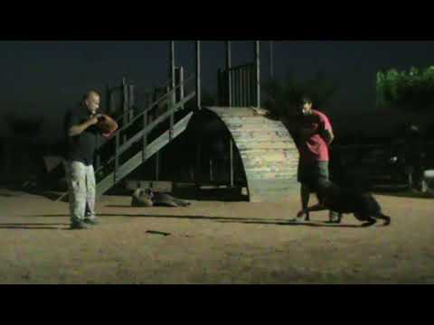Εκπαιδευση σκυλων - Victor,advance obedience,attack work - k9training.gr