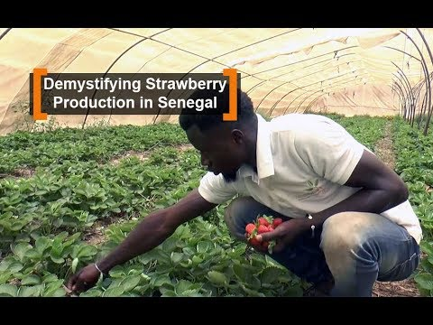 Demystifying Strawberry Production in Senegal