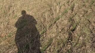 видио посев оз пшеницы по гороху с овсом 28 09 18