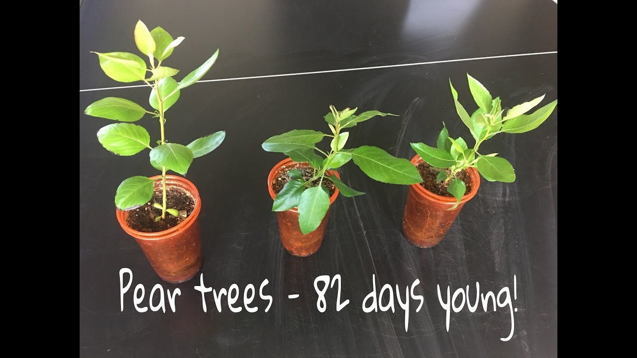 How To Grow Pear Trees From Seed Day 82