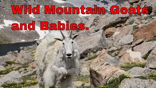 Wild Mountain Goats and Babies (RAW Footage). Mount Evans, Colorado. 14,000 Feet. CLOSE-SCARY
