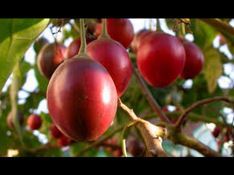 fitoterapia para adelgazar tomate de arbol enfermedades