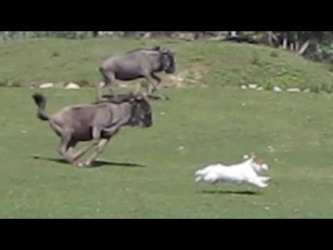Dog versus Gnus (Funny Fail in Safari Park)