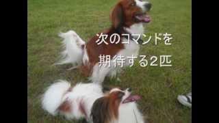 日本ではまだまだ数が少ないコイケルホンディエ メルちゃんはお散歩に出...