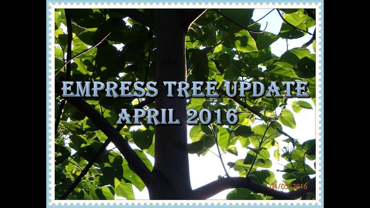Royal Empress Tree April 2016 Update YouTube