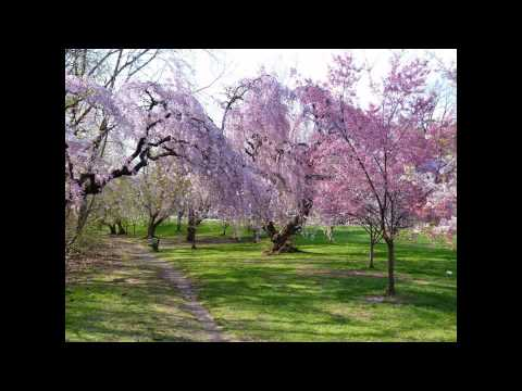 Cherry Blossoms at Branch Brook Park, Newark, NJ
