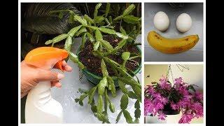 Como Adubar Flor de Maio Usando Ovo e Banana