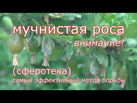 Мучнистая роса, сферотека. Самый эффективный метод борьбы - профилактика грибных болезней в саду.