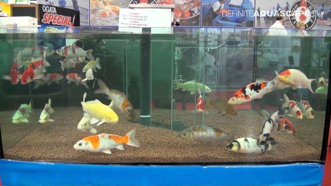 Aquariums of interzoo 2012 pt 30 ogata koi youtube for Indoor koi aquarium