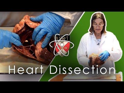 Ox Heart Dissection (GCSE & A-level Biology)