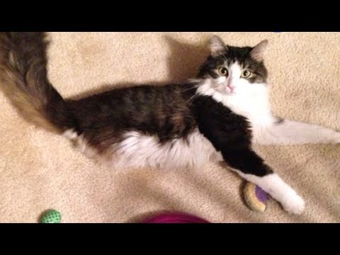 2-Legged Cat Gets Brother Just Like Him | The Dodo