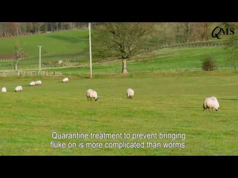 Controlling Liver Fluke in Sheep