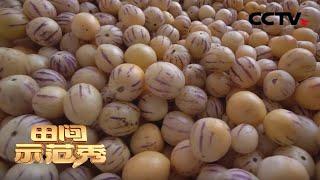 《田间示范秀》 20200406 拯救大山里的人参果|CCTV农业