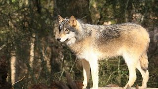 Florida Travel: Pet the Wolves at Seacrest Wolf Preserve, Chipley