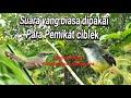 Suara Pemikat Burung Ciblek Para Pemikat  Mp3 - Mp4 Download