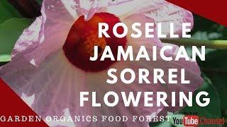 Growing JAMAICAN SORREL ( ROSELLE) Flowering