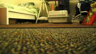 Yorkshire Terrier Poodle (yorkiepoo) Puppy Chases Ice