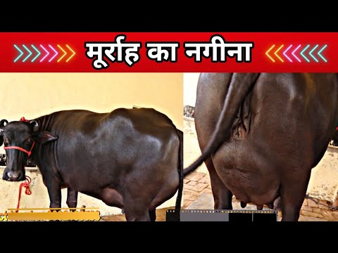 Super Quality Buffalo near to 2nd Delivery 👍☝️ Last Year Milk-19 Kg. Village-Dhanimahu,Bhiwani