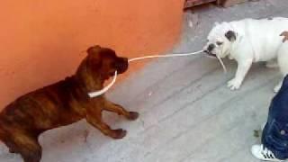 Bulldog Ingles Vs Boxer  Oliver Vs Rex