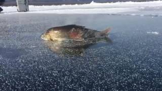 Хариус красавец, зимой из подо льда на реке