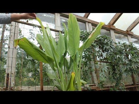 Home-grown Organic Turmeric & Ginger. Harvest. Curcuma bio maison la récolte .Cúrcuma orgánica