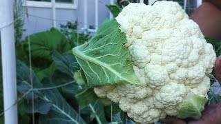 Good Cauliflower, Bad Cauliflower - Growing great cauliflower heads in your garden