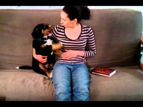 Bernese Mountain Dog Puppy Plays With Jessie