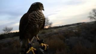 lances con Gavilan CETRERIA, sparrowhawk falconry