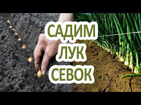 Когда и как сажать лук-севок в открытый грунт
