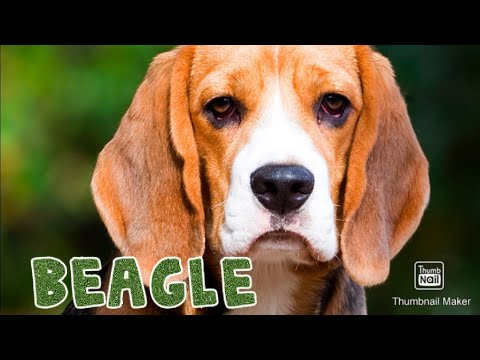 Beagle Dog Facts || Know About Beagle || Popular Dogs || Dr Ankit Chhibber || SCOOBERS